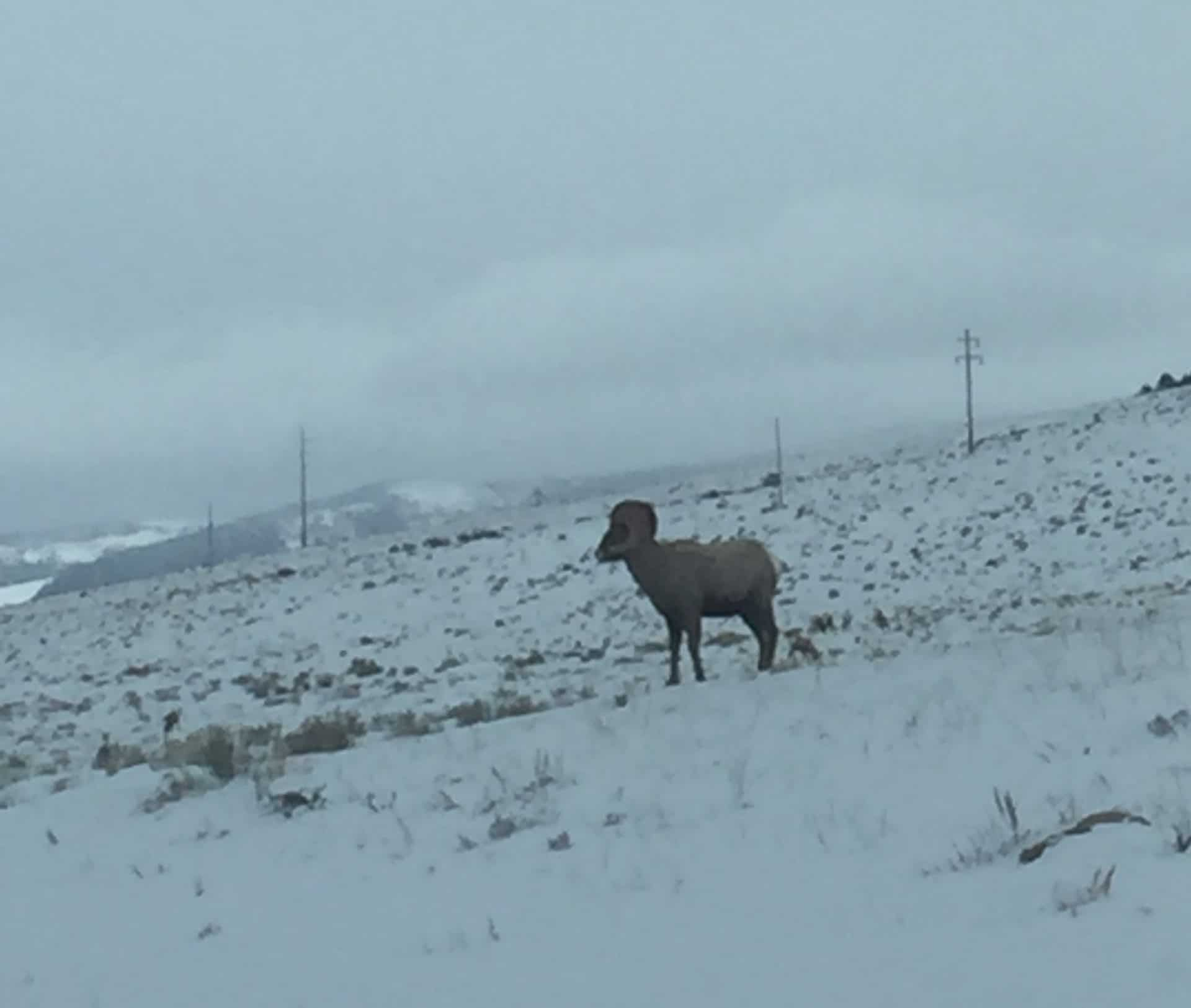 Wyoming Big Horn Sheep Outfitter
